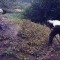 José Pedro Lopes a arrancar batatas (Mourísia)