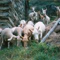 Rebanho de cabras e ovelhas (1995)